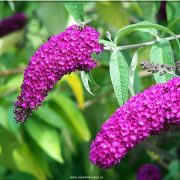 leptirov cvet prodaja