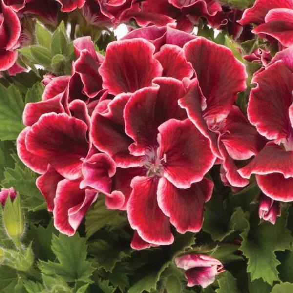 pelargonium geranium crvena satirana