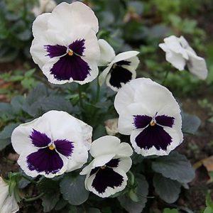 bela viola ticolor