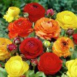 Ranunculus crveni