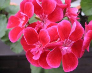 roze crvena muštatla cena