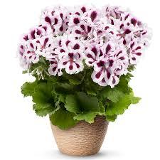 Stojaća muškatla prodaja cveća