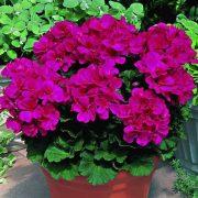 ljubičasta geranium