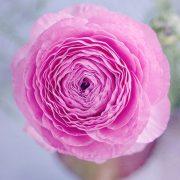 ranunculus-cveće beograd