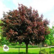 AcerplatanoidesRoyal-Red crvenolisni javor