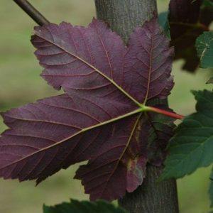 Acer_pseudoplatanus crveni list