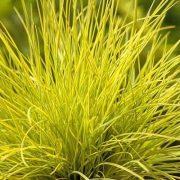 Razbite monotoniju boja u vasem vrtu izuzetnom limun žutom travom.