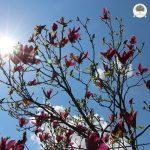 magnolia x soulangeana cena