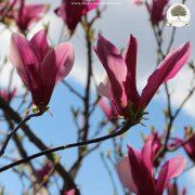 Magnolija rasadnik
