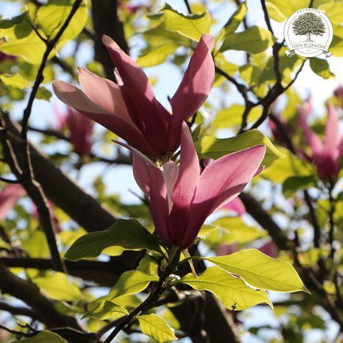 cveta sa listanjem