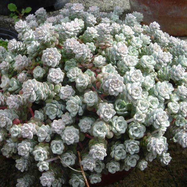 Sedum_spathulifolium_'Cappe_blanco'_3