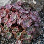 sedum_spathulifolium_purpureum