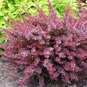 Beberis intenzivno crvene boje u jesen i rozih tonova tokom vegetacije