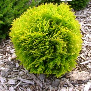 thuja occidentalis danica gold