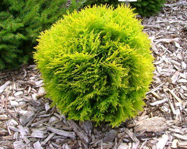 thuja occidentalis danica gold