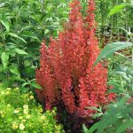 Berberis red rocket (zutika)