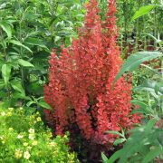 Berberis red rocket (zutika)