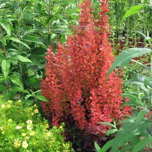 Crveni žbun uspravne forme sa crvenim listovima.