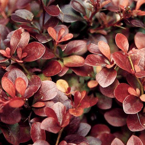 berberis-thunbergii-atropurpurea-nana-plug-plants-x3-4125-p