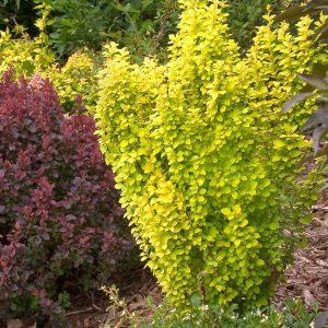 Žbun intenzivno zelene do zlatne boje tokom vegetacije, karakterističan po svojoj uspravnoj formi i intenzivnim bojama.