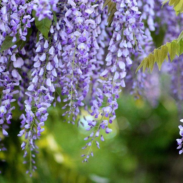 cena wisteria sinensis sadnica