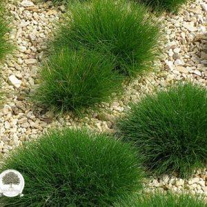 Ukrasne sadnice trava, Festuca gautieri