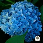 hydrangeamacrophyllanikkoblue_jwb_2_lg-main