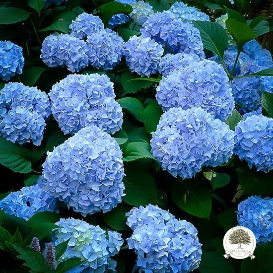 nikko-blue-hydrangea-3
