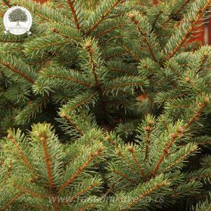 Picea pungens glaucca