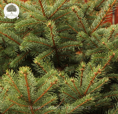 Picea pungens glaucca