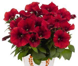 Crvena petunia