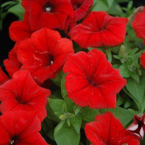 Potunia red