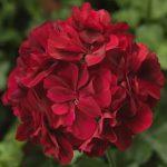 Temprano dark red (viseca)
