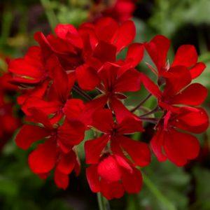 cascade dark red (visece)