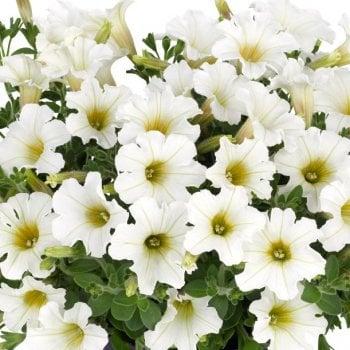 petunia-vivini-white-