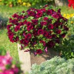 surfinia_burgundy-wine-red