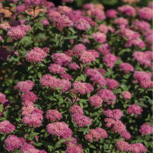 Spirea japonica Bumalda
