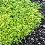 Thymus citrodorus 'Aureus'