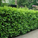 Prunus lauroocerassus ziva ograda