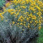 Santolina chamaecyparissus (Heiligenblume)