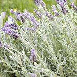 Blooming Lavender – Lavandula dentata